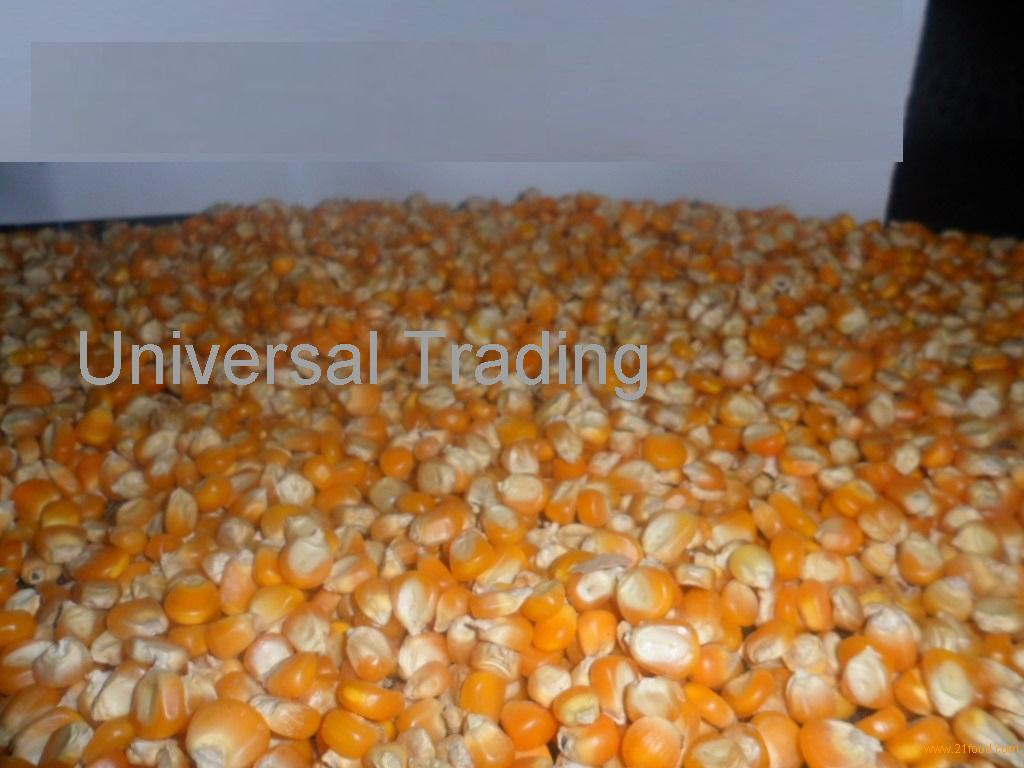 YELLOW CORN for sells