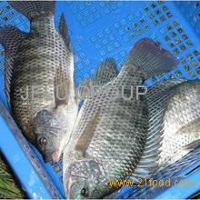 Grade AAFresh Frozen Ribbon fish,mackerel and Frozen Tilapia