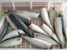 frozen pacific mackerel HG(head off & gutted)