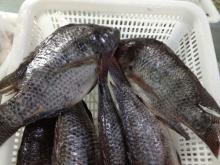 Tilapia fish 100% fresh frozen