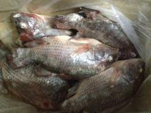 Tilapia fish fresh frozen