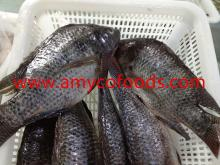 Frozen Tilapia Fish Whole GS Grade A