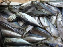 2017 Frozen Horse Mackerel