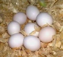 Fertile Solomon Island Eclectus Eggs for sale