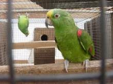 Panama amazon parrots and Eggs for sale
