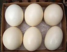 Hatching Ostrich Eggs for Sale