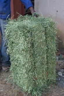 Alfalfa HAY FOR ANIMAL FEED