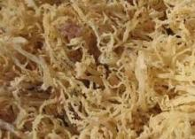 Spinosum Seaweed from Indonesia