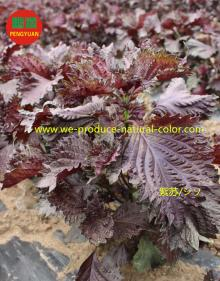Perilla leaf extract natural red colorant