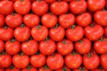 Fresh Tomatoes for sale