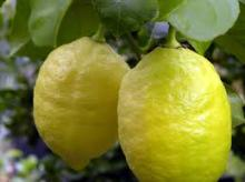 Fresh Eureka Lemon, Adalia lemon, Verna Lemon