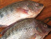 Fresh Frozen Tilapia Fish