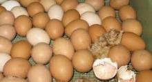 +90 hatchability Broiler Hatching eggs Ross 308 and Cobb 500