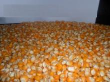 YELLOW CORN grade B.
