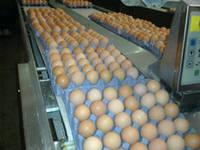 Fresh Chicken Table Eggs/Fresh Chicken Hatchieeeeng EGGS At Good Prices
