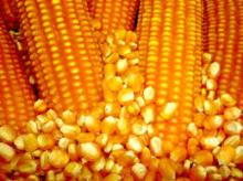 Non GMO Yellow Maize