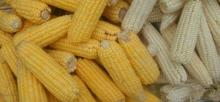 GMO/Non GMO White and Yellow Maize/Corn