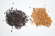 Black And Yellow Mustard Seeds Available
