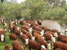 Livestock Product Cattle