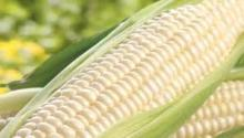 Best quality White Corn (Human Consumption - Grade 1