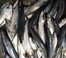 Frozen Mackerel 150-200g for canning