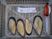 Frozen Half Shell Mussle All sizes 40/50 50/60