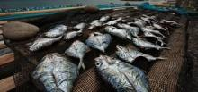fresh tilapia fish ready for packaging and exporting