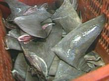 Frozen Shark Fins For sale