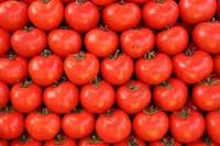 Top quality Fresh Tomatoes