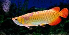 Asian Red and Super Red Arowana Fish /Black Diamond Stingray Fish