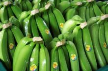 Green Cavendish Banana
