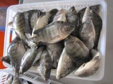 Frozen Tilapia Fillet With Tail Skin On 3-5oz