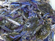Live and Frozen blue swimming crab