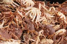 Fresh Live Russian and Norwegian King Crabs