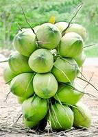 FRESH GREEN COCONUT/ Top Quality Fresh Young Coconuts