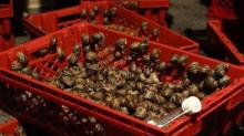 Live Giant African Snails for sale, frozen, live, dried, Shell powder