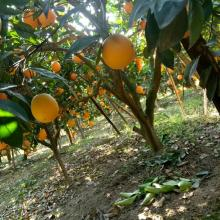Hubei province special produce navel orange