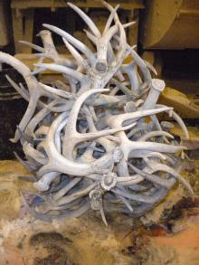 Red Deer Antler (Cervus Elaphus)
