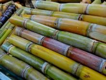 Fresh Sugarcane sticks