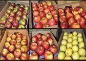 Fresh Royal Gala, Fuji, Golden/Red Delicious Apples FOR SALE