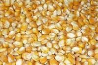 Yellow and White Corn
