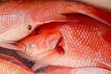 Fresh and Frozen Red Snapper Fish