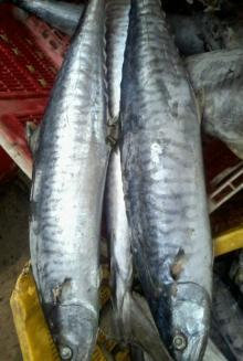 Whole Round Frozen Spanish Mackerel ( Tenggiri )