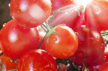 Fresh tomato for sale--