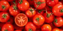 Very sweet and fresh red cheap fresh tomato price from Japan