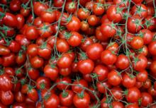 Farm fresh tomato 2017 market price for sale