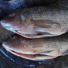 Frozen Tilapia Fish / Frozen Whole Round Tilapia Fish