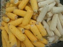 Yellow & White Maize for human consumption or animal feed. Discount prices available
