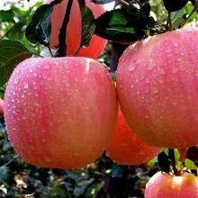 Top Quality Brazilian Best Supplier Fresh Apple Red Fuji Apple (20kgs/Carton Packing)