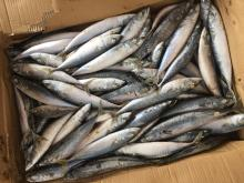 Frozen mackerel 6-8pieces/kg
